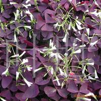 长城苗木公司供紫叶酢浆草,金娃娃萱草,一串红等绿化苗木