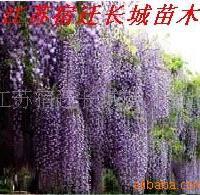 长城苗木公司供应紫藤,金叶女贞等绿化苗木