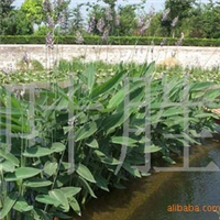 长城苗木公司供再力花,水仙花水杉等绿化苗木