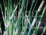 长城苗木公司供花叶水葱,水仙花,红叶李等绿化苗木