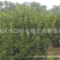 万年青苗圃基地供应北京  大叶黄杨球  耐修剪 寿命长