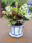 供应园艺花卉植物孔雀竹芋租赁