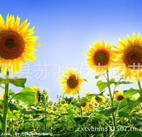 江苏供应向日葵 种子