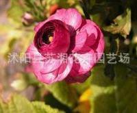 红宝石海棠--海棠花的精品