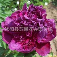 苏湘花卉园艺--花中皇后---芍药