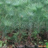 供应石楠、红叶石楠、连翘、迎春等工程绿化苗