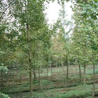 供应l绿化苗木-银杏,胸径12cm,全冠,高度6米以上