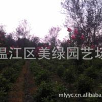 供应2公分紫薇,工程绿化苗木,温江区美绿园艺场