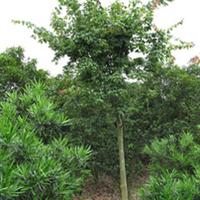 鸡爪槭 绿化苗木 ------禾景苗木提供大小鸡爪槭