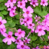 溢芳花卉园供应ぐ绿化种苗づ红花酢浆草苗子