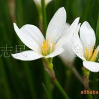 供应宿根花卉——玉簪 多规格玉簪苗 玉簪种植基地