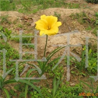 溢芳花卉园供应ぐ绿化种苗づ大花萱草(金娃娃)
