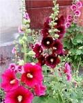 种子站:特价出售花卉香草种子 蜀葵种子斑斓的蜀葵花