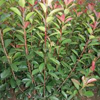 供应绿化苗木营养钵红叶石楠,地栽苗红叶石楠,红叶石楠球