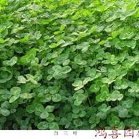 长期销售草坪种子、白三叶种子、红三叶种子、杂三叶种子