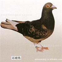 合肥好旺养殖厂供应优质高产的种鸽