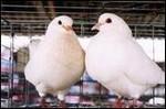 合肥好旺养殖厂供应优质高产量种鸽