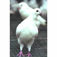 合肥好旺养殖厂供应优种安徽种鸽