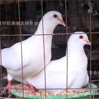合肥好旺养殖厂供应优质美国种鸽