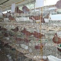 合肥好旺养殖厂供应优质高产的种鸽-石岐鸽