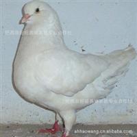合肥好旺养殖厂供应优质美国卡奴种鸽