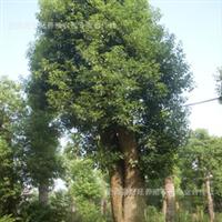 大量供应优质1公分-20公分坚固美观香樟树苗