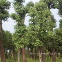 大量供应精品全冠香樟树