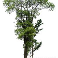 大量供应优质坚固美观香樟树苗  欢迎选购