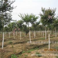 【紫薇批发】低价直销各类规格2-8公分紫薇树 紫薇苗木