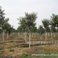 低价供应各类规格紫薇苗木
