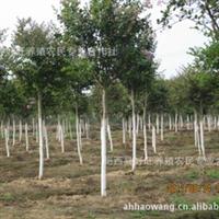 供应红花紫薇/紫薇树/盆景/绿化苗木