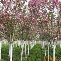 供应绿化苗木红花紫薇/紫薇树