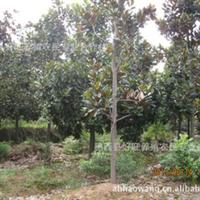 供应绿化苗木3公分广玉兰,4公分广玉兰