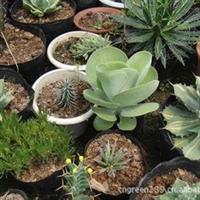 多肉植物 景天科 伽蓝菜属 唐印 热卖植物