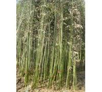 供应优质观音竹——成活率高  量大优惠