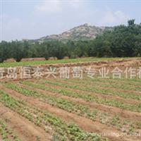 专业供应多种葡萄苗木 葡萄嫁接苗
