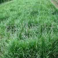 供应绿化苗木——麦冬 价格面议 山东泰安