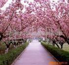 供应绿化苗木——美人梅