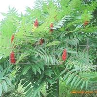 供应绿化苗木——火炬