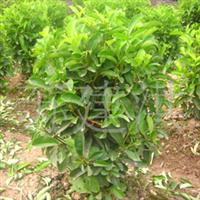 大量低价供应工程绿化苗木大叶栀子