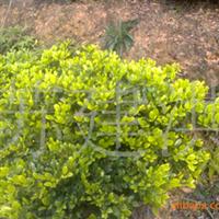 大量供应月季,黄花槐,纹母,银杏,大叶樟,火棘,丛兰.