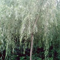 低价供应各种规格绿化苗木垂柳