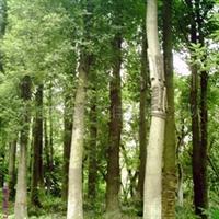 供应绿化苗木香樟移栽过的大香樟熟货香樟