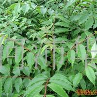 (批发)优质品种黄柏苗、可用药材、价格低