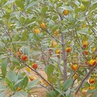 (批发)黄栀子苗、大果黄栀子苗、种苗、果树苗量大价低
