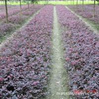 出售幼苗洒金珊瑚,法国冬青,红叶石楠,桂花,红继木扦插小苗,