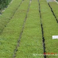 出售绿化苗木,出售满天星,各种地被植物
