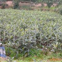 低价供应枇杷、枇杷苗、实生枇杷苗、种苗、果树苗量大从优