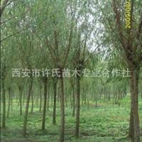 大量优价供应垂柳苗 旱柳苗 金丝柳苗 垂柳批发基地