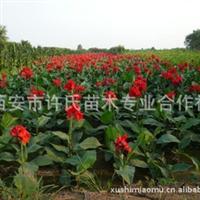 美人蕉 水生美人蕉 陕西园林绿化基地批发销售